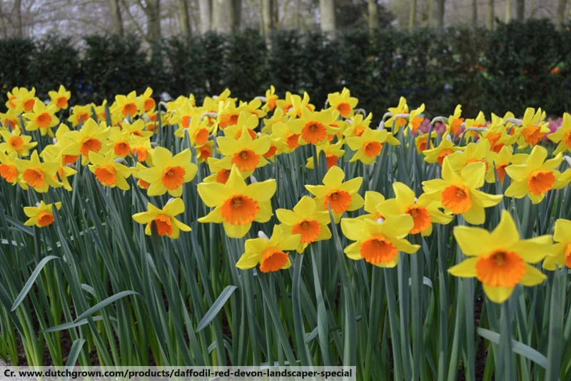 daffodil, meaning of flower